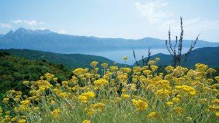 Korsische Bergblumen und weite Aussicht auf die Bergwelt, Wälder und das Meer